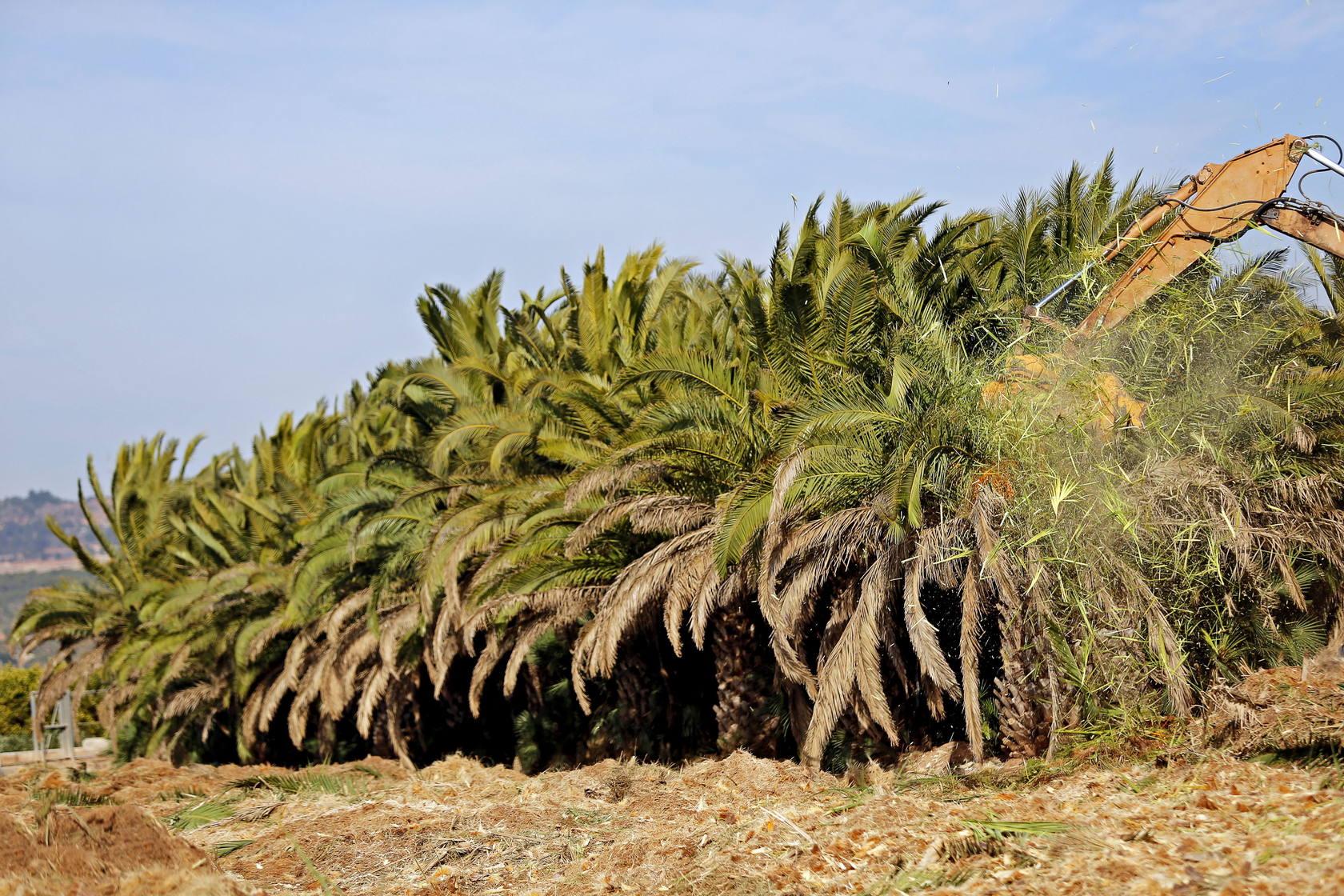 Destruyen 3.000 palmeras al no poder asumir el tratamiento contra el picudo